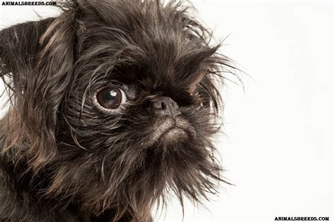 Brussels Griffon Dog Breed - Pictures, Information