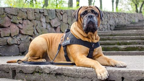 Top 5 Guard Dogs In The World - YouTube