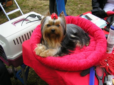 Amazing Gift from Heaven Yorkshire Terrier kennel - G-Portál