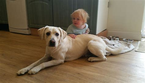 Labrador Cross 11 Months Old - Great with Kids