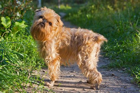 Brussels Griffon Dog Breed » Information, Pictures, & More