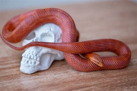10 Best Corn Snake Morphs (with Pictures + Price Guide)